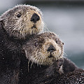 Sea Otters Huddled Together by Milo Burcham