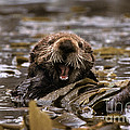 Sea Otters by Ron Sanford