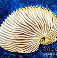 Sea Shell Original Oil On Canvas No.2. by Drinka Mercep