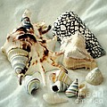 Sea Shells- Colorful Collection by Darla Wood