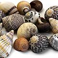 Sea Shells by Fabrizio Troiani