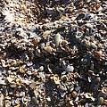 Sea Shells by Marian Palucci-Lonzetta