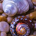 Sea Snail Shells by Garry Gay
