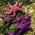 Sea Stars by Robert Bales