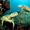 Sea Turtle Oil On Canvas by Don Kuing