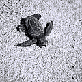 Sea Turtle In Black And White by Sebastian Musial