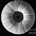 Sea Urchin In Black And White by Mary Deal