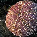 Sea Urchins by Robert Bales
