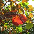 Seagrape Leaves by Christiane Schulze Art And Photography