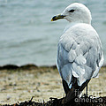 Seagull by Andrea Anderegg