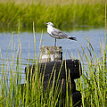 Seagull At Weeks Landing by Bill Cannon