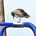 Seagull Balancing Act by Susan Garren