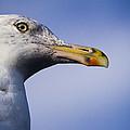 Seagull - Cape Neddick - Maine by Steven Ralser