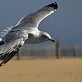 Seagull Cleared For Beach Landing by Bill Swartwout Fine Art Photography