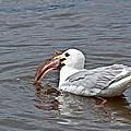 Seagull Eating Huge Fish In Water Art Prints by Valerie Garner