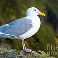 Seagull Heceta Head - Oregon by Gary Whitton