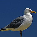 Seagull Iconic Beach Bird by Bill Swartwout Fine Art Photography