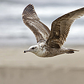 Seagull In Flight by Belinda Greb