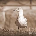 Seagull In Sephia by Jennifer E Doll