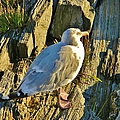 Seagull In Shadow by Jean Goodwin Brooks