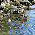 Seagull In The Water by Barbara Fonseca