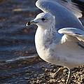 Seagull by Jasmin Hrnjic
