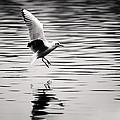 Seagull Landing On Lake by Simon West