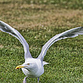 Seagull Lift Off by Natalie Rotman Cote