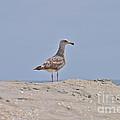 Seagull N Sand  by Bridgette Gomes