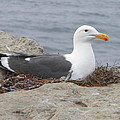 Seagull Nest by Eric Johansen