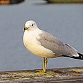 Seagull Posing by Brian Maloney