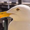 Seagull Profile by Randy Straka