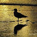 Seagull Reflection Sunset by D Hackett