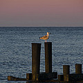 Seagull Seascape by Bill Cannon