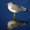 Seagull Reflecting In Shallow Water by Bill Swartwout Photography
