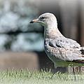 Seagulls 1 by Jennifer E Doll