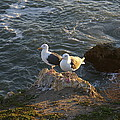 Seagulls Aka Pismo Poopers by Barbara Snyder