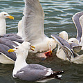 Seagulls Dinner Time by Debra  Miller