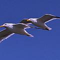 Seagulls In Flight by George Bostian