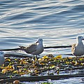Seagulls In Victoria Bc by Natalie Rotman Cote