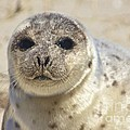 Seal  by Amazing Jules