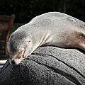 Seal At Rest by Stephen Rademan