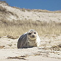 Seal On Monomoy Island by Amazing Jules