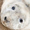 Seal Pup by Gillian Dernie