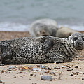 Seal Pup On Beach by Gordon Auld