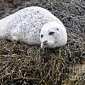 Seal Resting In Dunvegan Loch by DejaVu Designs