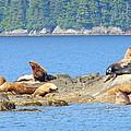 Seals In Alaska 1 by Lew Davis