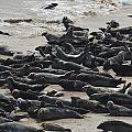 Seals On The Blasket Island by Barbara Walsh
