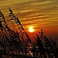 Seaoats And Sunrise Hatteras Island 1 7/31 by Mark Lemmon