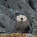 Seaotter - The Old Man by Rick and Dorla Harness